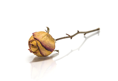 Dried rose flower  with stalk isolated on white background and reflect shadow