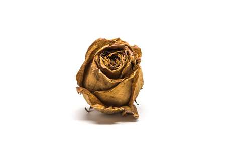 Dried rose flower head isolated on white background