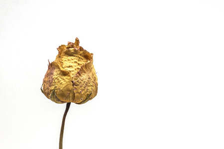 Dried rose flower isolated with white background Banque d'images