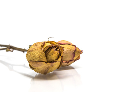 Two Dried rose flower  with stalk isolated on white background and reflect shadow Banque d'images