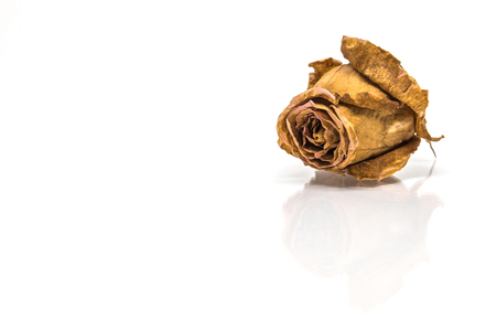 Dried rose flower head isolated on white background with reflect shadow
