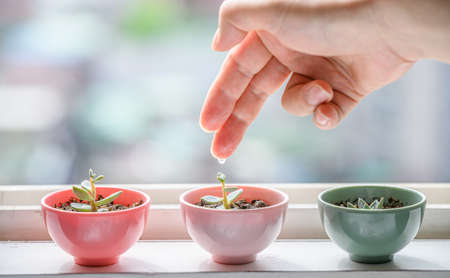 A small succulent on the window sill waters the pots with his fingers. Zdjęcie Seryjne