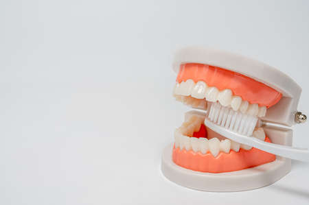 Dentistry, medicine, medical equipment and stomatology concept. Jaw model with white toothbrush on white background.