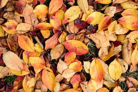 Background group autumn orange leaves. Autumn background orange autumn leaves.