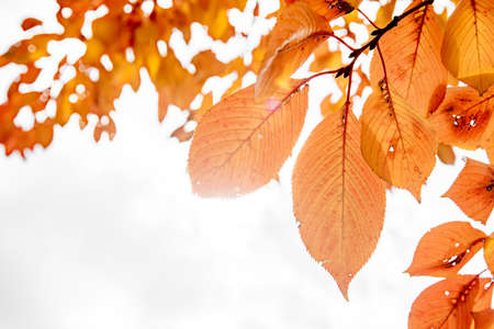 Autumn background orange autumn leaves. Zdjęcie Seryjne