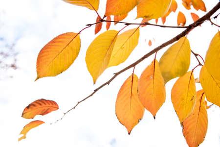 Background group autumn orange leaves.