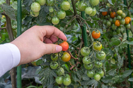 A mans hand holding a red ripe cherry tomato.