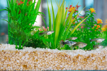 Guppys swimming in a fishbowl with dirty white little stones and artificial water plants.