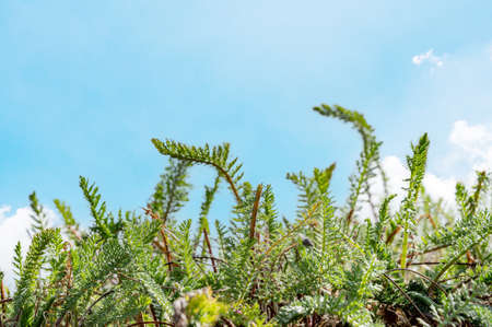 Herb plant shoots and clear blue sky