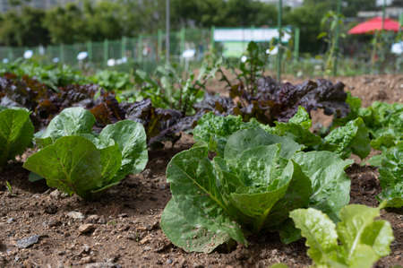 Fresh lettuce growing on a farm. There are two colors, green and purple leaves. Stock fotó