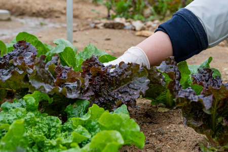 Man's hand picking leaves of fresh vegetables growing in the soil.