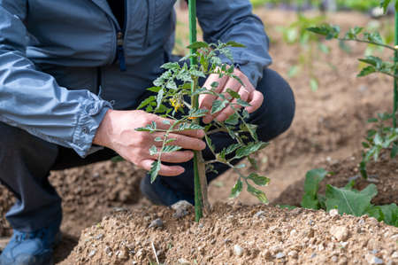 The hand of a farmer who cares for young crops. Stock fotó