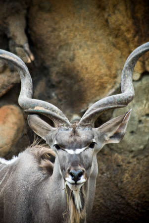 Male Kudu Portrait Looking