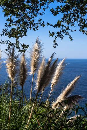 Sea Oats along the coast around Big Sur CA USA