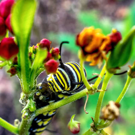 lifecycle: 112015 South TX  Found some Monarch Caterpillars in our Milkweed plans in the front yard