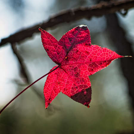 Spring TX USA - Jun. 12, 2016  -  Red Leaf in the Winter because it does not get cold in South TX until Winter