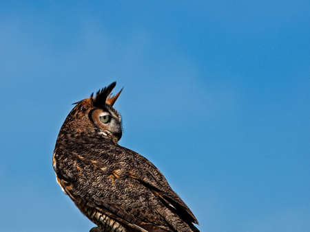 Southeastern TX USA - April 1, 2017  -  Great Horned Owl looking backwards Editorial