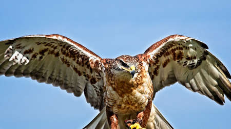 A Portrait of a Ferruginous hawk with its wings out.