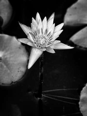 Water Lily Foto de archivo - 107257874