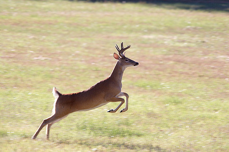 A whitetail deer leaps through the air.