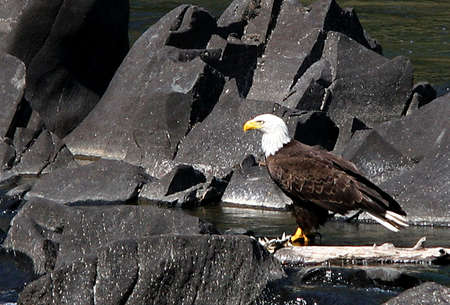 A bald eagle next to the river.
