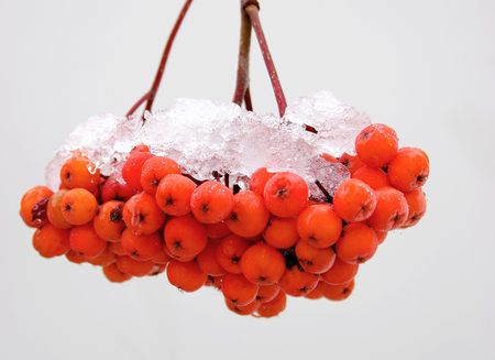 Mountain ash berries covered with snow. photo