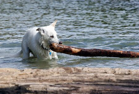 A part wolf and part husky drags driftwood. Banco de Imagens