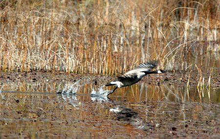 A Goose flies just over te water.
