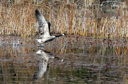 A Goose takes flight from the water.