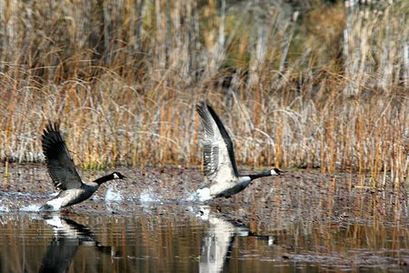 Two geese flap wings and skim over the water.