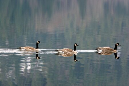 Three Geese swimming in te water.