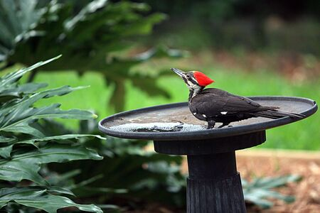 Pileated Woodpecker in a bird bath. Stock Photo