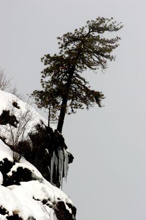 lone pine: Un pino solitario en un acantilado cubierto de nieve.