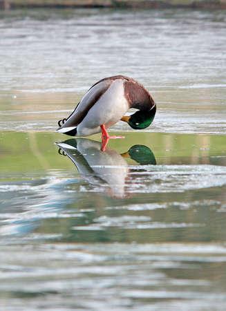 A mallard on ice. photo