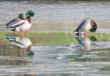 Mallards on a frozen lake. Stock Photo - 2404396