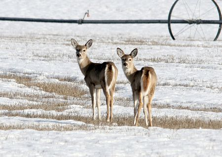 white tail deer: White tail deer stare back at the camera.