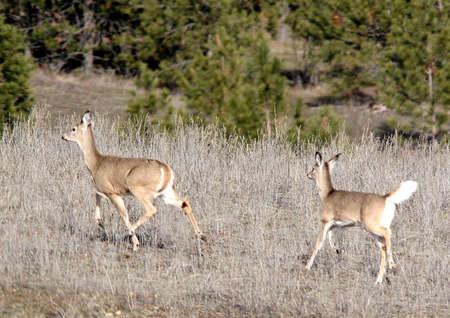 A couple of deer run through the field.
