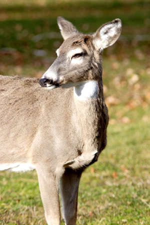 white tail deer: A white tail deer looks off to the side. Stock Photo