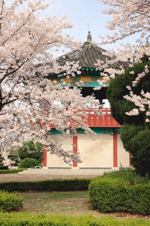 A Korean pavilion is partly hidden behind blossoming trees.