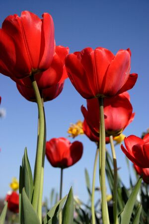 Red Tulips, green leaves, and a blue sky.