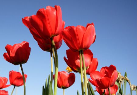 A cluster of bright red tulips. Stock Photo