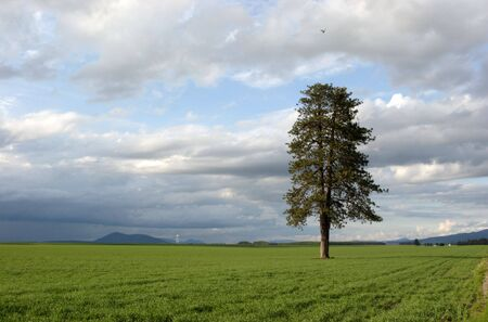 A large pine tree in a green farm field. Stock Photo - 3151381
