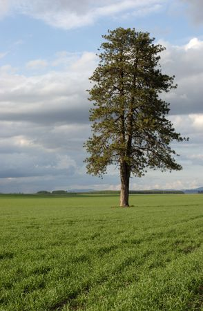 Large tree in the field. Stock Photo - 3151400