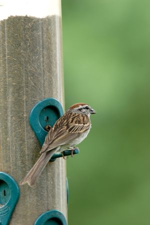 plummage: A back view of a small chipping sparrow.