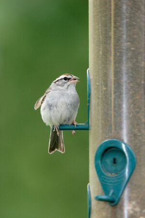 plummage: The front of a sparrow. Stock Photo