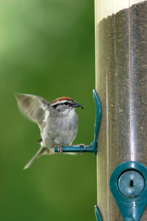 chipping: A chipping sparrow flaps its wings. Stock Photo