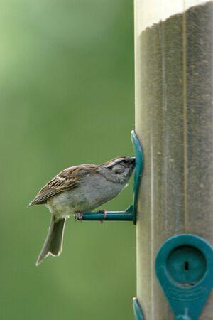 plummage: Un peque�o gorri�n alcanza para la semilla.