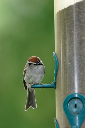 curiously: A chipping sparrow looks curiously at the opening of a feeder. Stock Photo