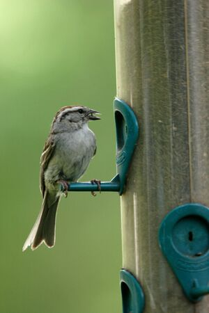 plummage: Un peque�o astillado Sparow con una semilla en su pico.