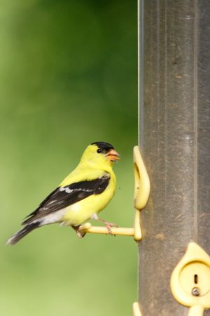An american goldfinch perched on a feeder. photo